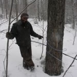 Each tap isa small hole drilled into the tree. The sweet, clear sap flows from the taphole to tanks in the sugarhouse.